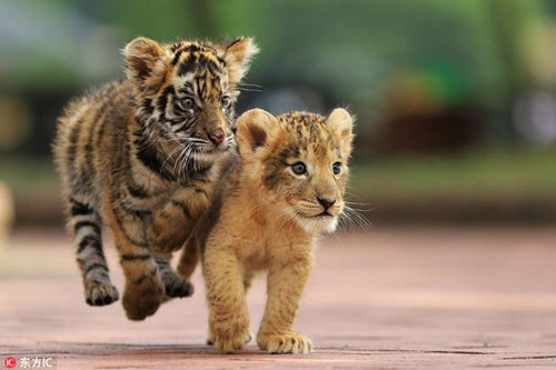 Cute tiger and lion cubs become best friends in japanese safari park an adorable tiger cub and lion cub were recently spotted palling around in the african safari park in japans oita prefecture the park has been documenting thecheapjerseys Image collections