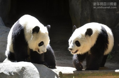 """Born in Atlanta in the U.S., the giant panda twins """"Mei Lun"""" and """" Mei Huan"""" returned to their hometown-southwestChina'sSichuanprovince early in November. However, old habits die hard and it might take a while for them to adjust to the new environment. For instance, the naughty twins refused to eat traditional Chinese food like steamed bread of corn, and preferred American buiscuits instead. Foreign netizens are very reluctant to let them return to China, with some expressing their understanding: """" This is surely a lost for us, but to be fair, China is the true and only home for pandas"""". (Xinhua file photo)"""
