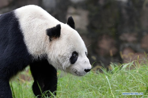 Photo taken on Sept. 21, 2015 shows Pan Pan at the Dujiangyan base of the China Conservation and Research Center for Giant Panda in southwest China's Sichuan Province. Pan Pan, the world's oldest male panda, died at 31 in southwest China's Sichuan Province Wednesday morning.(Xinhua/Xue Yubin)CHENGDU, Dec. 28 (Xinhua) -- Yet another celebrity has passed away in 2016. This time it is Pan Pan, the world's oldest male panda, who died at 31 in southwest China's Sichuan Province Wednesday morning.Pan Pan passed at 4:50 a.m. An autopsy is being carried out to find the cause of his death, though the circumstances are not thought to be suspicious.Pan Pan was the equivalent to about 100 human years, but he had been living with cancer and his health had deteriorated in the past three days, Tan Chengbin, a keeper with the Dujiangyan base of the China Conservation and Research Center for Giant Panda, told Xinhua. He had lost consciousness.Though born in the wild in Sichuan's Baoxing County in 1985, Pan Pan lived in captivity from just a few months old.Panda grandpa, as he became known, was diagnosed with cancer in June this year, and also suffered from common old-age conditions, such as cataracts and poor teeth.A Xinhua reporter who last saw him on Dec. 21 said he was in a nursing home for elderly pandas, and though he was very thin he was keeping in good spirits.When the keeper called his name and offered him food, usually steamed corn bread or fresh bamboo leaves, he was able to respond and move out to have dinner, the reporter said.Pandas are notoriously difficult to breed, but Pan Pan lived a particularly active life for a panda and fathered many cubs over the past 20 years. He has more than 130 descendants, accounting for 25 percent of the world's captively bred panda population.The average lifespan of wild pandas is normally 20 years, but those in captivity usually live longer.Pan Pan, which means expectation in Chinese, was also name of the mascot for the 1990 Beijing Asi