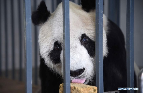 Photo taken on Dec. 21, 2016 shows Pan Pan at the Dujiangyan base of the China Conservation and Research Center for Giant Panda in southwest China's Sichuan Province. Pan Pan, the world's oldest male panda, died at 31 in southwest China's Sichuan Province Wednesday morning.(Xinhua/Xue Yubin)