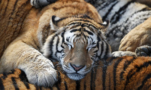 Siberian tigers rest at a Siberian tiger park in Harbin, capital of northeast China's Heilongjiang Province, Feb. 10, 2017. Siberian tigers here have gained more weight than they are in summer due to increased food supply. (Xinhua/Wang Jianwei)