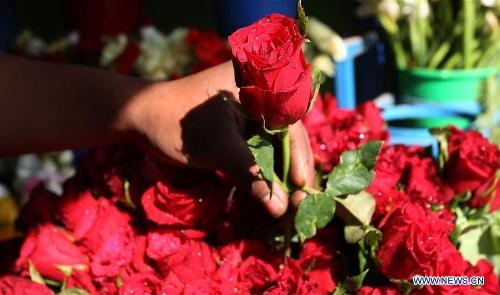 A Nepalese man selects roses ahead of Valentine's Day at a flower shop in Kathmandu, Nepal, Feb. 13, 2017. (Xinhua/Sunil Sharma)