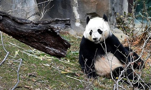 Giant Panda Bao Bao plays at Smithsonian's National Zoo in Washington D.C., the United States, Feb. 15, 2017. The Smithsonian's National Zoo on Wednesday kicked off a series of public events as it prepared to send off Giant Panda Bao Bao back to China. (Xinhua/Bao Dandan)