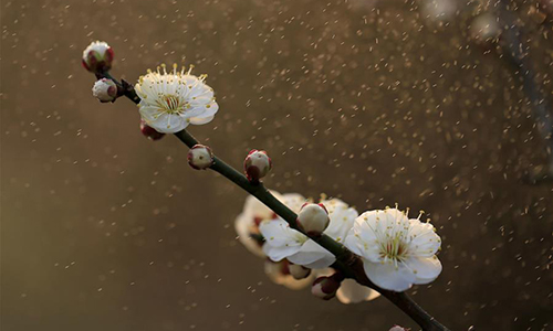 Photo taken on Feb. 16, 2017 shows plum blossoms in the rain at a park in Xuyi County, east China's Jiangsu Province. (Xinhua/Zhou Haijun)