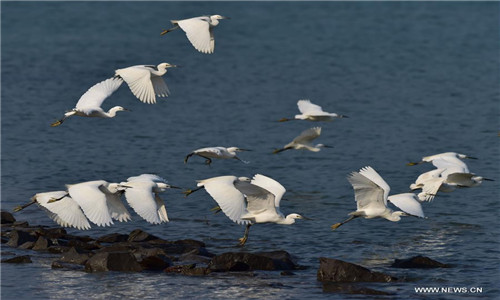 Egrets fly at Luoyuan Bay, southeast China's Fujian Province, Feb. 16, 2017. More and more birds were spotted in Luoyuan, a sign of improved environment in the region. (Xinhua/Mei Yongcun)