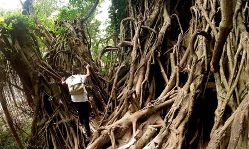 A tourist climbs a 600-year-old balete tree in Aurora Province, the Philippines, Feb. 16, 2017. The 600-year-old balete tree, measuring 15 meters in diameter, is one of the famous tourist attractions in the province. (Xinhua/Rouelle Umali)