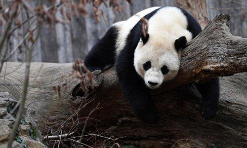 Life ahead of overseas-born panda back home
