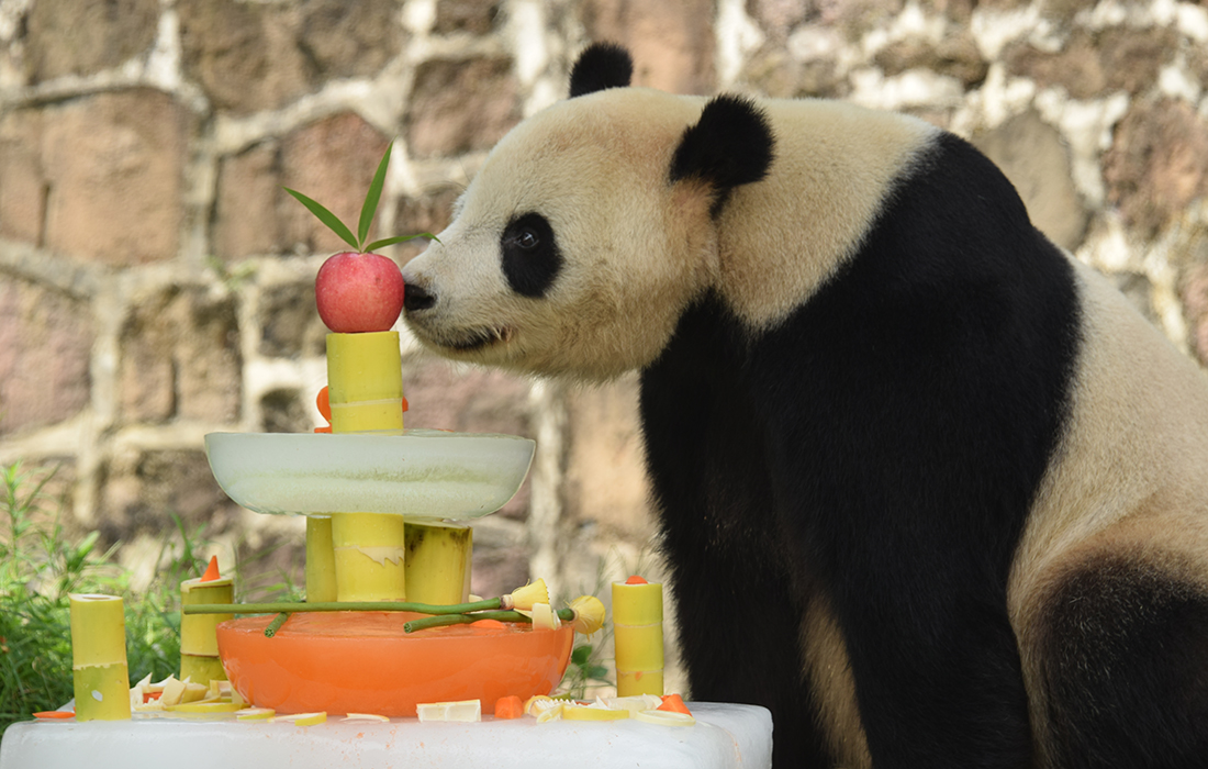 Us Born Panda Tai Shan Celebrates 12th Birthday In Sw Chinas