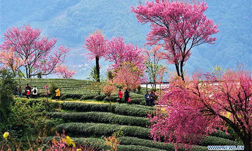 cherry blossoms at wuliang mountain in sw china global times
