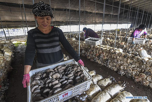 Farmers pick mushrooms at production base in Fucheng, N