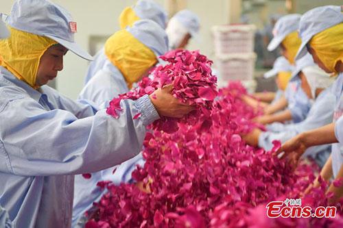 Edible roses in Bajie, SW China's Yunnan - Global Times