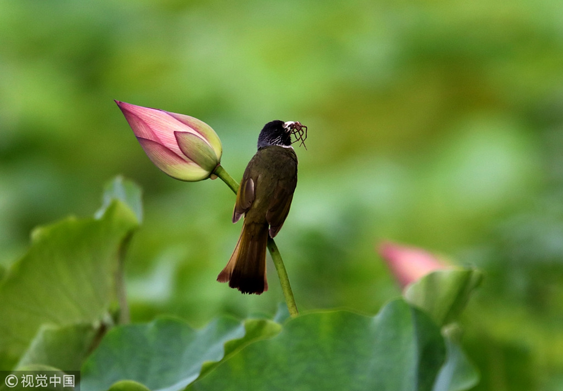 Birds Forage Rest On The Stems Of Lotus Flowers In Chinas Anhui