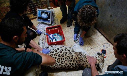 Persian leopard gets ultrasound exam at Jerusalem Biblical Zoo