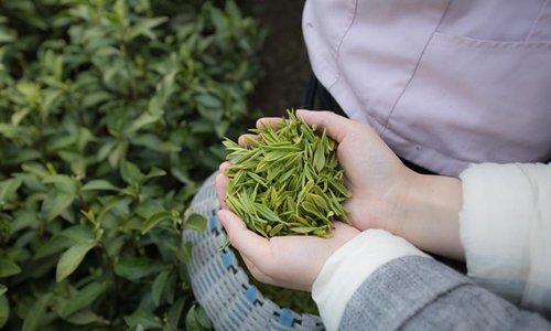 Pic story of tea farmer in Anji County, China's Zhejiang