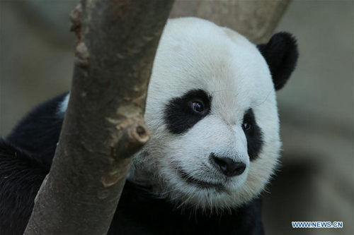 Chinese giant pandas meet public at Panda World of Everland in S. Korea