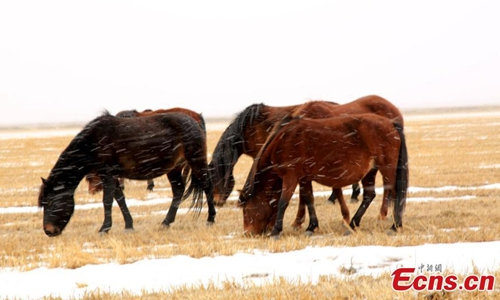 Horses In Snow At World S Oldest Horse Ranch Global Times