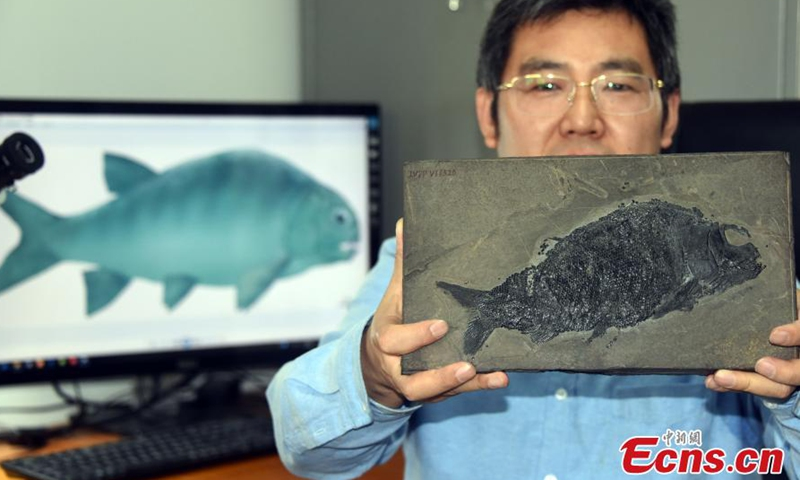 The well-preserved fossil specimen of a new colobodontid, Feroxichthys panzhouensis sp. nov., is presented by Xu Guanghui, a researcher from the Institute of Vertebrate Paleontology and Paleoanthropology of the Chinese Academy of Sciences, April 7, 2021. Photo:China News Service