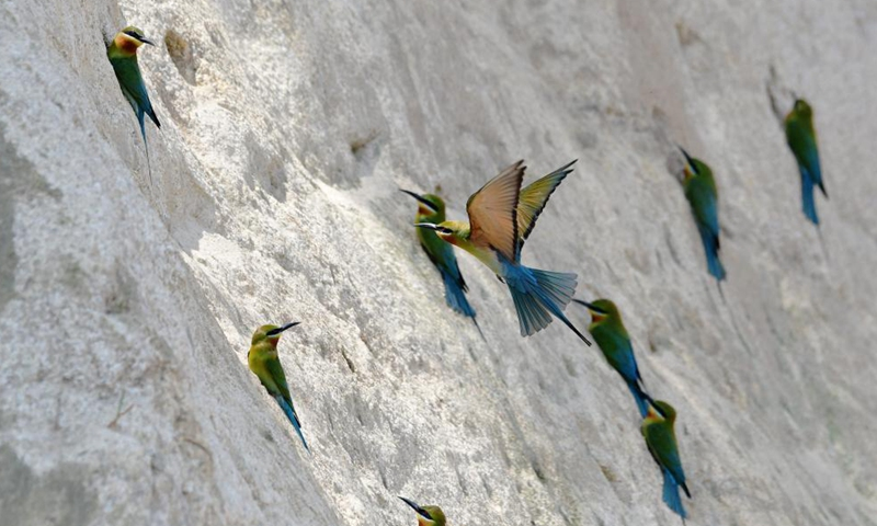 Blue-tailed bee-eaters are seen at Wuyuanwan blue-tailed bee-eater nature reserve in Xiamen, southeast China's Fujian Province, April 30, 2021. In recent days, a large number of blue-tailed bee-eaters are busy nesting, courting or looking for mates at Wuyuanwan blue-tailed bee eater nature reserve in Xiamen. With the coming of their breeding season, more of them will come back here from South Asia for reproduction. (Xinhua)