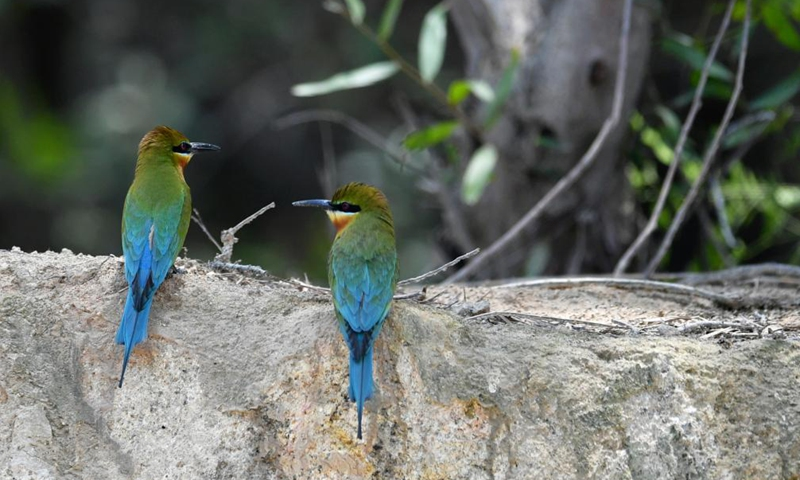 Blue-tailed bee-eaters are seen at Wuyuanwan blue-tailed bee-eater nature reserve in Xiamen, southeast China's Fujian Province, April 30, 2021. In recent days, a large number of blue-tailed bee-eaters are busy nesting, courting or looking for mates at Wuyuanwan blue-tailed bee eater nature reserve in Xiamen. With the coming of their breeding season, more of them will come back here from South Asia for reproduction. (Xinhua) )