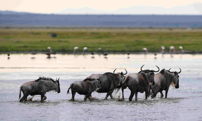 A flock of gnus are seen in Amboseli National Park, Kenya, June 16, 2019.(Photo: Xinhua)