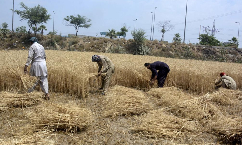 Farmers harvest wheat on the outskirts of Lahore, Pakistan, May 20, 2021. As the agricultural sector of Pakistan is the backbone of the national economy, the country's officials and experts believe that the enhanced cooperation under the China-Pakistan Economic Corridor (CPEC) can greatly help Pakistan modernize the sector, ensure food security and improve local people's livelihood.Photo:Xinhua