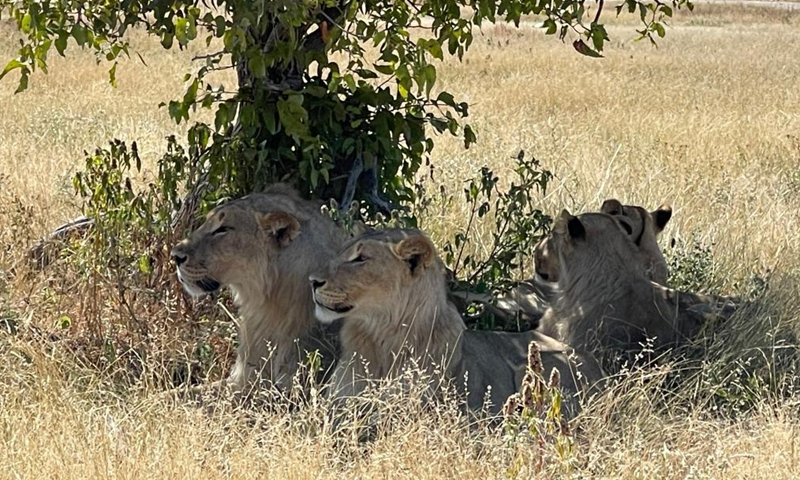 Photo taken on May 15, 2021 shows lions in Etosha National Park, Namibia. Namibia is home to an array of wildlife, from ostriches and zebras roaming the gravel plains to penguins and seals chilling in the Atlantic currents.Photo:Xinhua