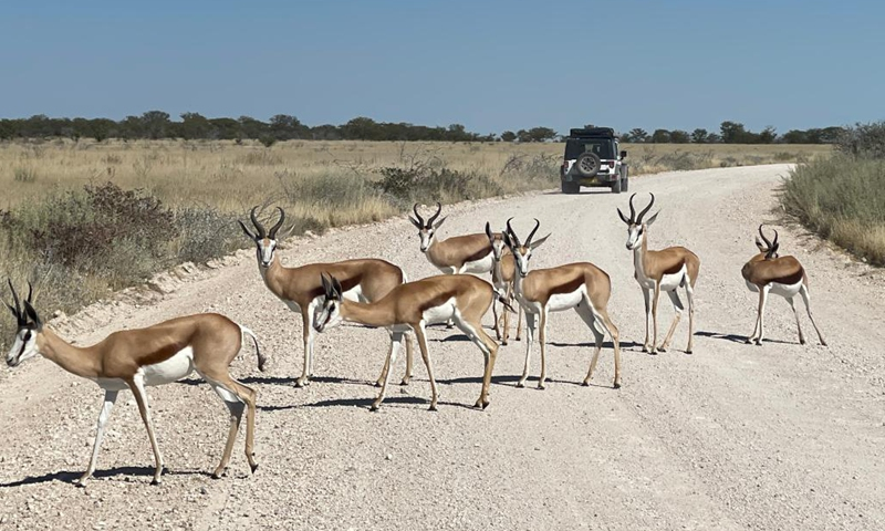 Photo taken on May 15, 2021 shows springboks in Etosha National Park, Namibia. Namibia is home to an array of wildlife, from ostriches and zebras roaming the gravel plains to penguins and seals chilling in the Atlantic currents.Photo:Xinhua