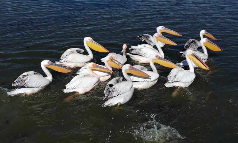 Pelicans on a lake in Konya, Turkey, on May 22, 2021.(Photo: Xinhua)