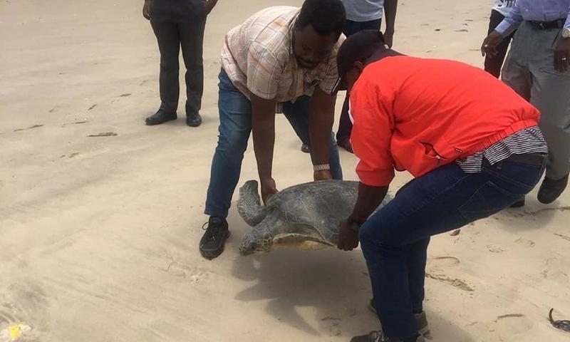 People release a sea turtle into the sea in Lagos, Nigeria, May 17, 2021.(Photo: Xinhua)