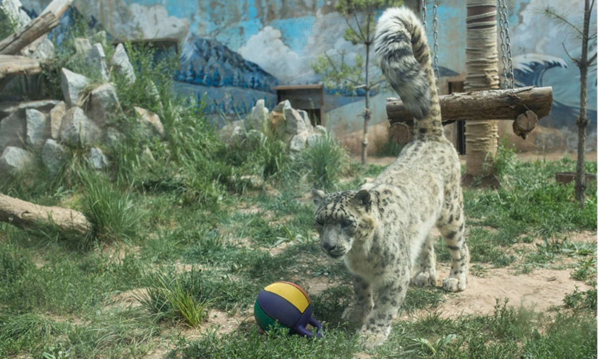 Dabao, a snow leopard rescued by the Qinghai wildlife rescue and bred center Photo: Shan Jie/GT