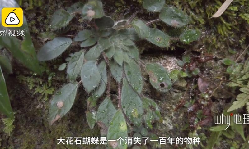 Petrocosmea grandiflora found in Tiankeng, Southwest China's Yunnan Province Photo: Screenshot of Pear Video