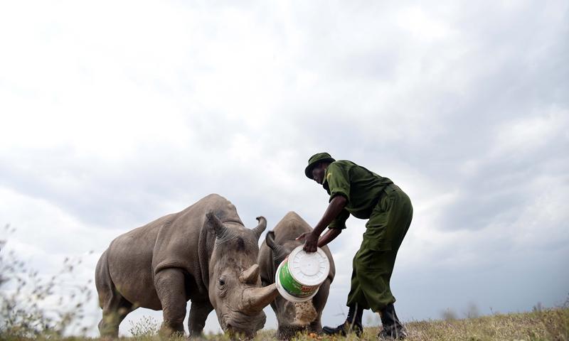 A caregiver fed Najin (L) and Fatu, the last two northern white rhinos, in Ol Pejeta Conservancy, Laikipia County, Kenya, Aug. 23, 2019.(Photo: Xinhua)