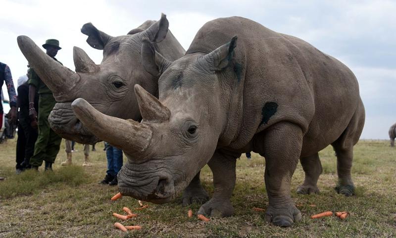 Najin (L) and Fatu, the last two northern white rhinos were seen in Ol Pejeta Conservancy, Laikipia County, Kenya, Aug. 23, 2019.(Photo: Xinhua)