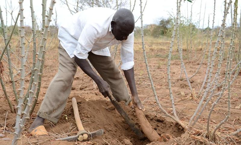 File photo shows a farmer harvests cassava in Kitui County, Kenya, on Aug. 12, 2016.(Photo: Xinhua)