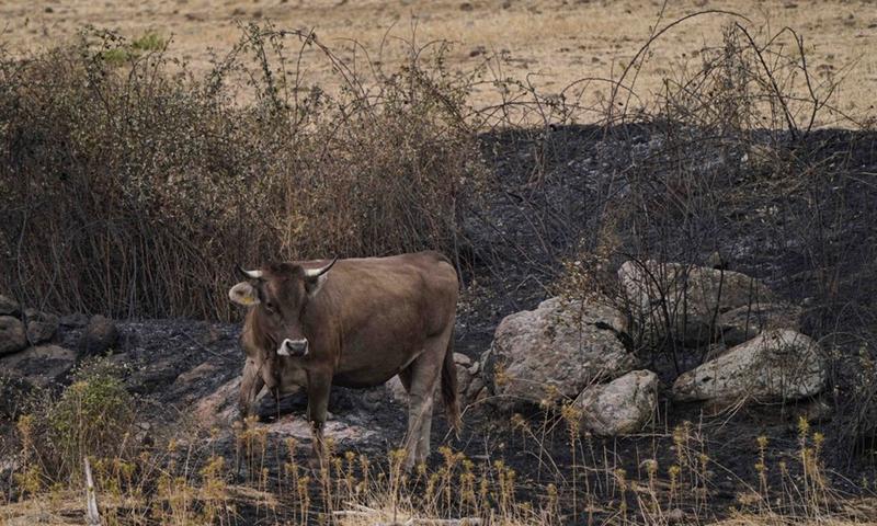 Il 26 luglio 2021, una mucca è stata trovata in un'area bruciata a Oristano, in Sardegna, in Italia.  (Foto: Xinhua)