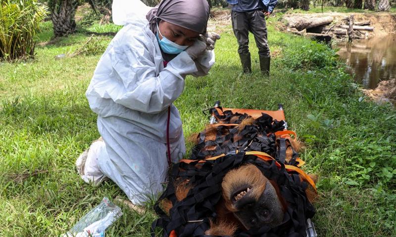 Seorang dokter hewan memeriksa kondisi orangutan sumatera jantan di Desa Summer Bakti, Kabupaten Nagan Raya, Aceh, Indonesia, 25 September 2021. (Foto: Xinhua)