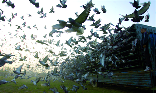 Pigeon racing rules the roost in China among bird sports, with one enthusiast even spending $200,000 to buy a prized pigeon. Photos: CFP 1