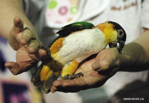 BC Exotic Bird Society's Kelly shows a black cap caique parrot at the annual Pet Expo 2013 in Vancouver, Canada, on March 10, 2013. Pet Expo is a two-day consumer tradeshow showcasing all types of pets, pet products, service providers, entertainers, clubs and organizations that cater to pets. (Xinhua/Sergei Bachlakov)