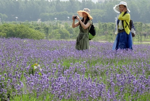 Tourists take photos in a lavender field in Xuelangshan forest park in Wuxi, east China's Jiangsu Province, May 25, 2013. Over 100,000 lavender plants here attracted numbers of tourists. (Xinhua/Luo Jun)