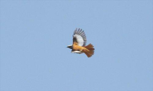 a male Güldenstädt's redstart spotted at Lingshan Mountain, Mentougou district