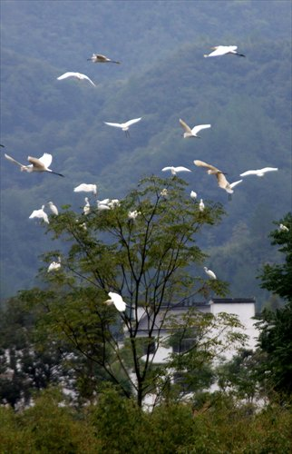Egrets are seen flying at the bank of the Xin'an River in Anhui Province in September. The downstream Zhejiang Province will pay Anhui millions of yuan if the water reaches the quality standard by 2015. Photo: CFP
