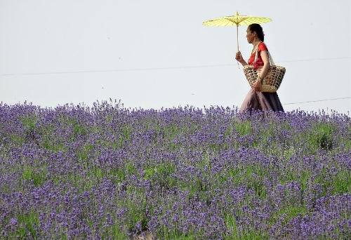 A tourist walks in a lavender field in Xuelangshan forest park in Wuxi, east China's Jiangsu Province, May 25, 2013. Over 100,000 lavender plants here attracted numbers of tourists. (Xinhua/Luo Jun)