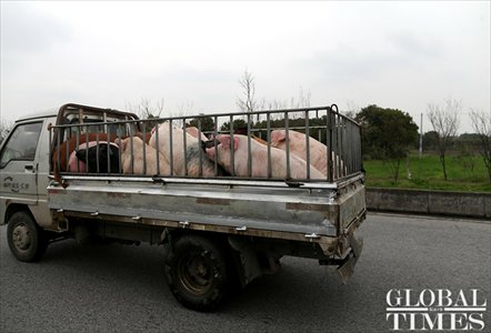 Cars carrying pigs are commonplace on roads outside Henggang village. Photo: Yang Hui / GT