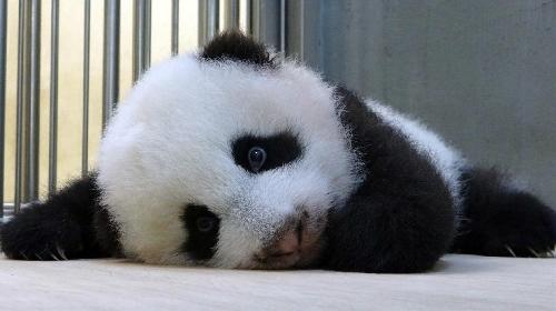 pandas online gifts