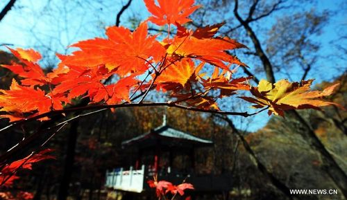 Photo taken on October 14, 2012 shows the maples on Guanmen Mountain in Benxi, Northeast China's Liaoning Province. Photo: Xinhua