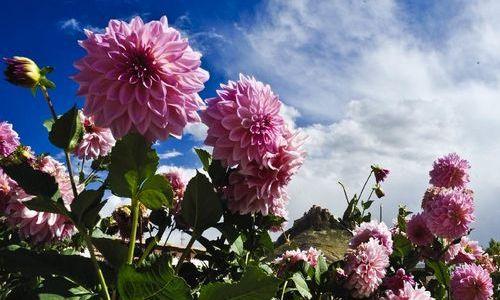 Photo taken on October 1, 2012 shows flowers near Gyangze County, Southwest China's Tibet Autonomous Region. Photo: Xinhua