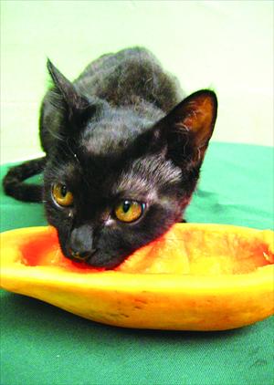 Can Cats Eat Papaya