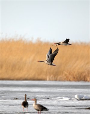 Greylag geese are one of hundreds of migratory bird species that flock to China to breed. Photo: CFP