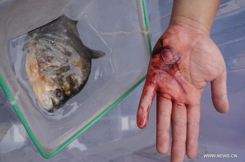 piranhas bite people in s china   global times