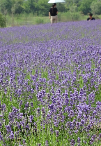 Photo taken on May 25, 2013 shows lavender flowers in Xuelangshan forest park in Wuxi, east China's Jiangsu Province. Over 100,000 lavender plants here attracted numbers of tourists. (Xinhua/Luo Jun)
